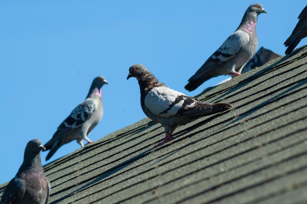 duivenpinnen plaatsen