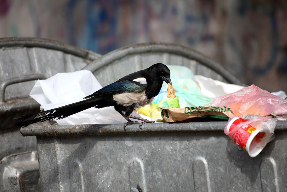 ekster in vuilnisbak